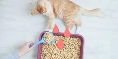 ¿Qué significa si mi gato orina sangre?