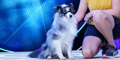 Große EMOTIONEN bei Top Dog Germany: Sheltie Niels leidet an Glaukom