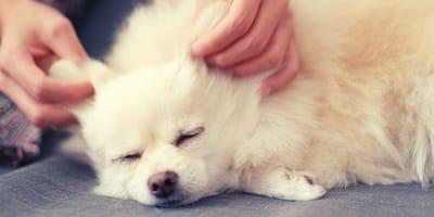 Come fare un massaggio al cane? Consigli passo passo
