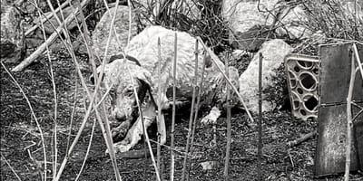 Incendi in Sardegna: cane Pastore resta con il gregge, salvato in tempo
