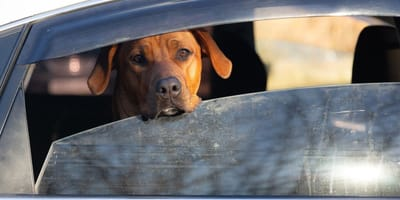 What you should do if you see a dog locked in a car on a hot day