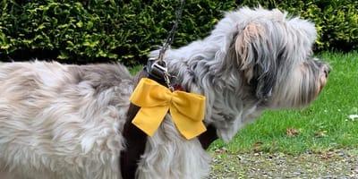 Gelber Hund mit gelbem Halsband