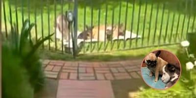 Il cavallo più piccolo del mondo e l'amicizia con 3 cani (Video)