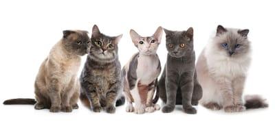Jak założyć hodowlę kotów rasowych? Poradnik krok po kroku