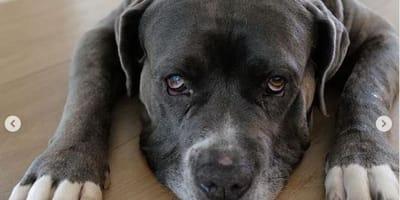 Chiamano il rifugio per un cane anziano: la voce al telefono è famosa!