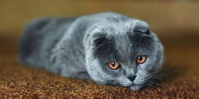 Cos'è l'epatite del gatto? E cosa fare?