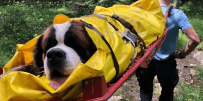 SOS en Francia: San Bernardo de 75 kilos atrapado en plena montaña, ¡los gendarmes llegaron por los pelos!
