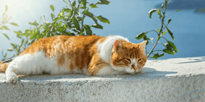Can cats get sunburn? How to protect your cat's skin this summer