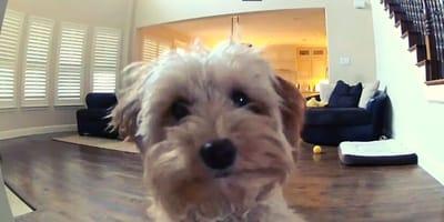 Sola in casa, Goldendoodle si sente osservata e reagisce così (Video)