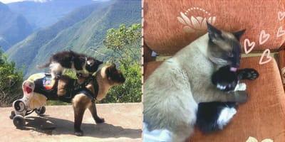 Michi parapléjico se encuentra un gatito abandonado y lo da todo para salvarlo