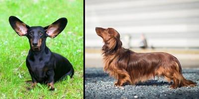 10 sorprendenti foto di cani Bassotti!
