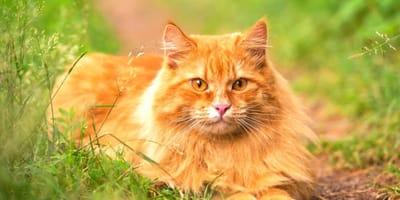 I 30 migliori nomi per gatti rossi!