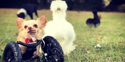A two-legged chihuahua and rescue chicken are teaching kids it's okay to be different