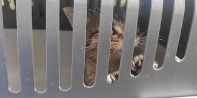 Mężczyzna przez 13 godzin walczy o uwolnienie kociaka spod maski samochodu, ale nikt nie kwapi się z pomocą