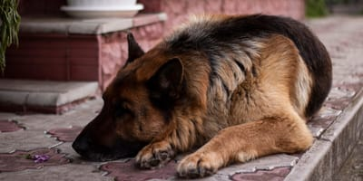 Zostawia owczarka niemieckiego w hotelu dla psów: dwa tygodnie później pracownicy przeżywają szok