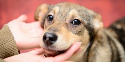 Vigor híbrido (heterosis) en perros: qué es, usos y ventajas