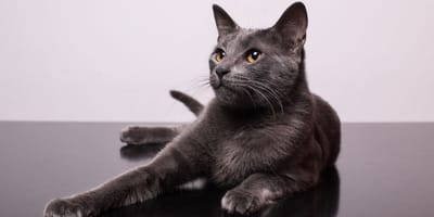 The origins and history of the cat
