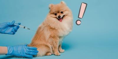 Cómo inyectar a un perro: consejos y trucos