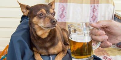 Bier voor honden: onschuldig of gevaarlijk?