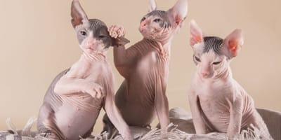 Lista de razas de gato sin pelo