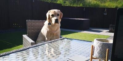 Labrador kurz vorm Tod, weil er etwas verschluckt, das viele im Sommer im Garten haben