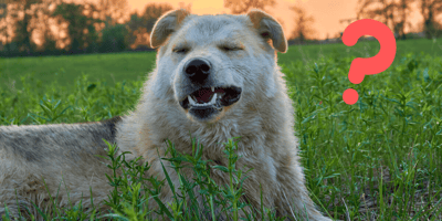 Hund beim Rückwärtsniesen