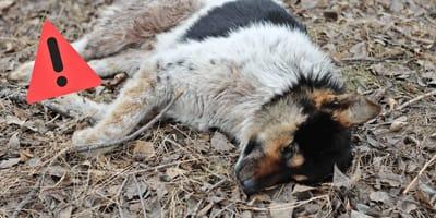 Tödliche Hundeseuche breitet sich wieder in Deutschland aus!