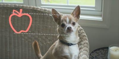 Todo lo que debes saber sobre el perro chihuahua cabeza de manzana