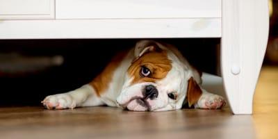 Cane spaventato sotto al letto