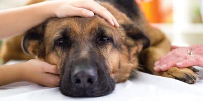 Kranker Hund bekommt Medikamente