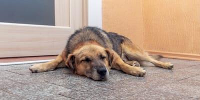 Choroba Cushinga u psa – objawy, leczenie, rokowania