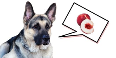 ¿Mi perro puede comer nectarina?