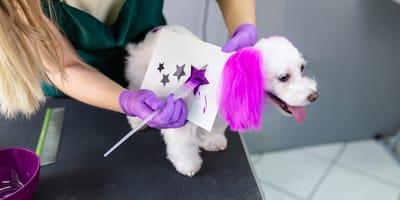 Teñir el pelo de un perro: ¿es bueno o malo?