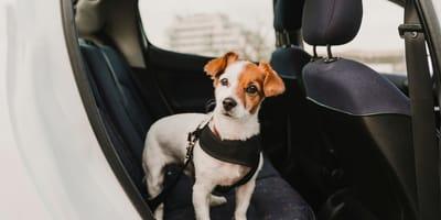 I cani devono indossare la cintura di sicurezza in macchina?