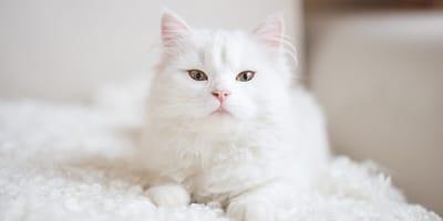 Poznaj rasy kotów o białym umaszczeniu