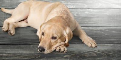 Choroby wątroby u psów - objawy, leczenie, zapobieganie