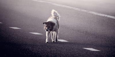 Ho trovato un cane per strada, che faccio? Risponde l'ENPA (Video)