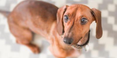 Tipos de perro salchicha: ¿cuántos hay y cuáles son?