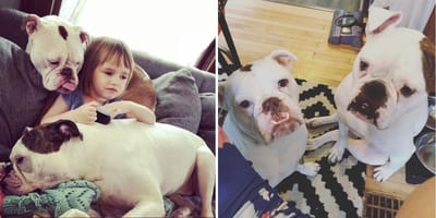 Two rescue Bulldogs heal bereaved toddlers' hearts