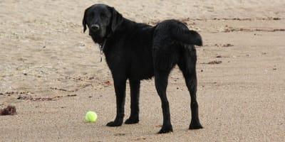 Labrador dokonał przerażającego odkrycia podczas spaceru nad Bałtykiem