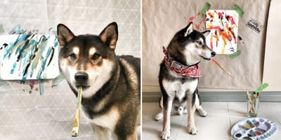 Shiba Inu grabs a paint brush, owners are impressed by the beautiful art he creates
