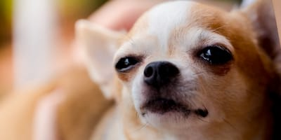 ¿Cómo saber si mi perro ya no ve?