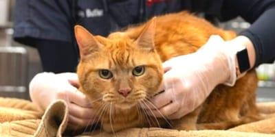 Veterinari in crisi: centinaia di gatti muoiono di pancitopenia