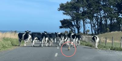 Bauer traut seinen Augen nicht, als er sieht, wer seine Kuhherde führt