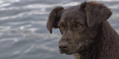 El quiltro chileno, el perro mestizo patrimonio de Chile
