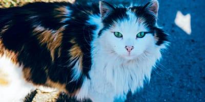 Bellissimi occhi di gatto azzurri che ti fissano
