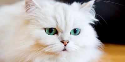 Gatto persiano bianco con occhi azzurri
