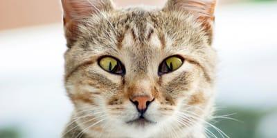 Come curare la terza palpebra del gatto?