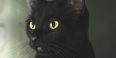 Il gatto nero ed altri miti sui mici