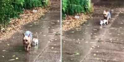 En vídeo: yorkshire salva a un gatito perdido en la lluvia